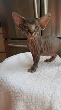 Sphynx Kittens Washington