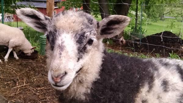 Sheep For Sale in Sacramento California, Craigslist Classifieds